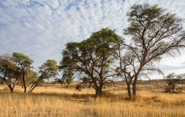Kameelboomkoelte-Kalahari-11-365x230