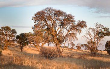 Kameelboomkoelte-Kalahari-2-365x230
