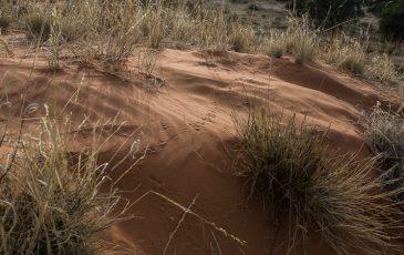 Kameelboomkoelte-Kalahari-23-365x230