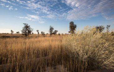 Kameelboomkoelte-Kalahari-6-365x230