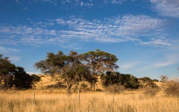 Kameelboomkoelte-Kalahari-7-365x230